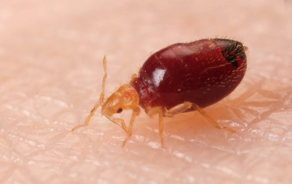 Bethpage bed bugs removal