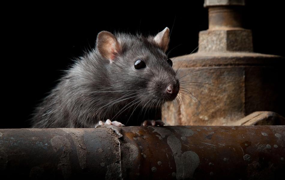Hempstead Rodent Exterminator