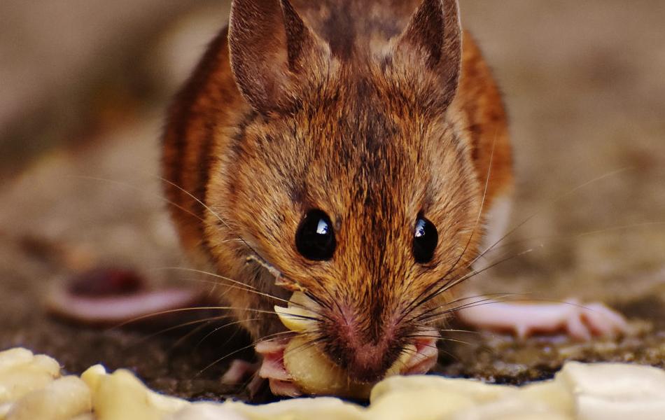 Oceanside Rodent Exterminator